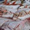 広島の釣果速報毎週更新(アジメバルチヌキスマダイカレイタチウオアオリイカ)