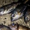 【広島メバル釣果速報】毎週更新!ポイントも紹介(広島湾~呉、音戸、江田島、阿賀、